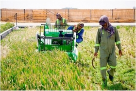 Dubai plans to expand Chinese saltwater rice into Arab world and Africa